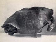 Chelonoidis abingdonii