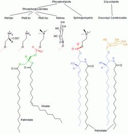 572px-Membrane lipids
