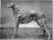220px-Scottish-deerhound-dog-large