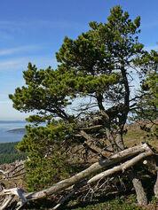 Longpole Pine