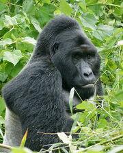 485px-Gorillas in Uganda-1, by Fiver Löcker