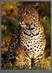 Michel-christine-denis-huot-leopard-with-infant-at-masai-mara-kenya