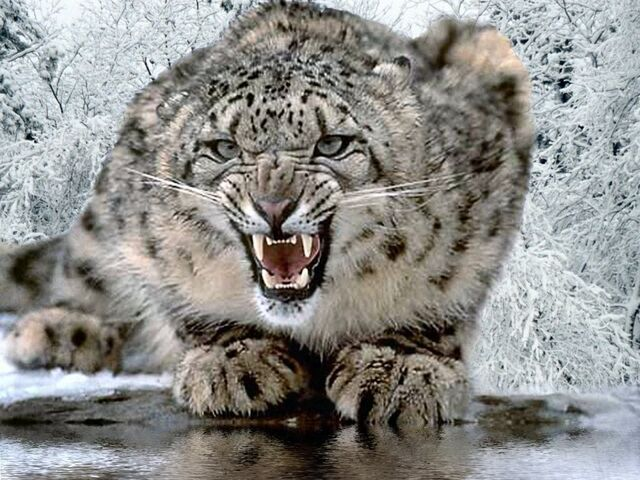 File:Snow-leopard-1.jpg