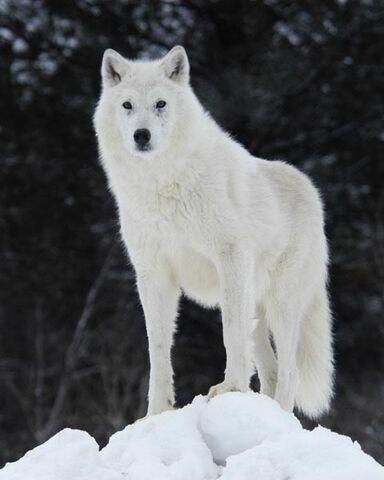 File:ArcticWolf.jpg