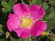 Plight Rose