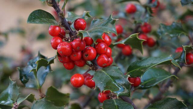 File:Holly-tree-1030595 1280.jpg