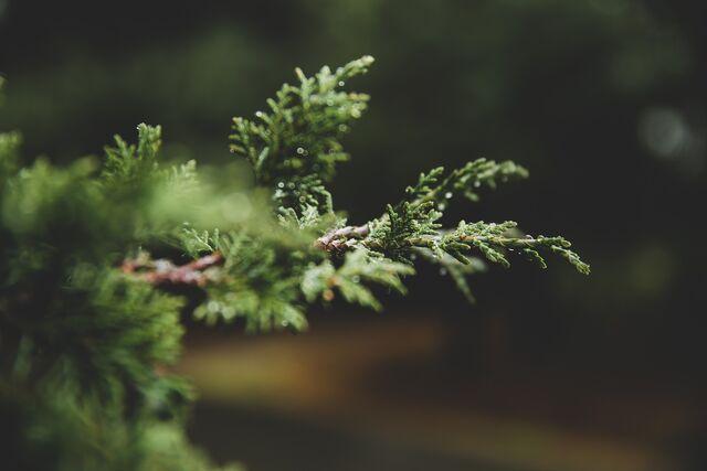 File:Pine-tree-1149086 1920.jpg