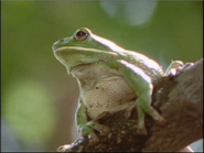Tree Frog lonly