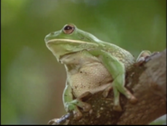 Tree Frog lonly 2