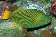 Orange Striped Triggerfish
