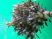 Tassle Filefish