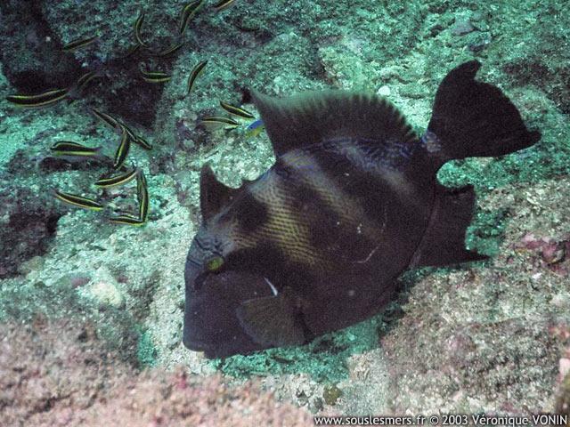 File:Stone Triggerfish.jpg
