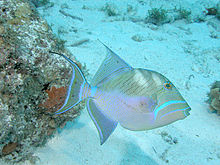 File:Queen Triggerfish.jpg