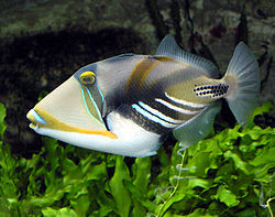 File:Picasso Triggerfish.jpg