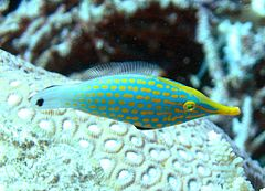 File:Orange Spotted Filefish.jpg