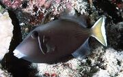 Whitetail Triggerfish