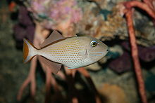 File:Sargassum Triggerfish.jpg