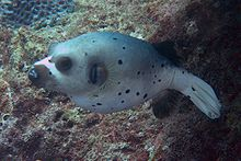 File:Blackspotted Pufferfish.jpg