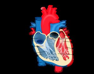 Struktura srca