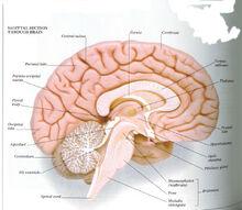 Brain-midsagittal-section-human-brain-sagittal-sections-mid-sagittal-section-through-the