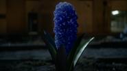 7x01 plante pousse fleurs jacinthes nuit