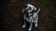 4x11 petit bébé chien chiot dalmatien