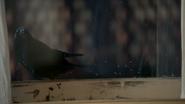 4x02 corneille corbeau corvidé oiseau noir messager rebord fenêtre
