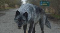 4x19 loup Massachusetts apeuré