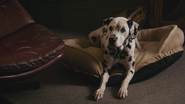 2x10 Pongo couché tête levée panier couchette