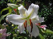 Flor casablanca