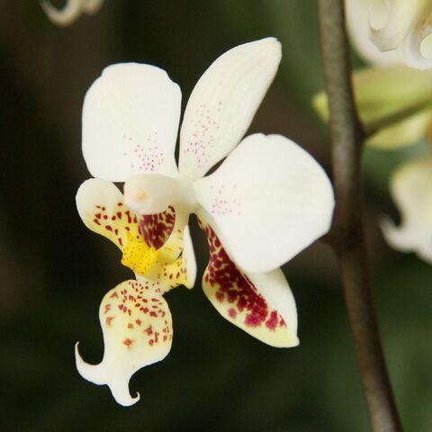 Die Blüte der Phalaenopsis stuartiana von blumenbiene@FlickR.