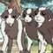 Chèvres de Zenny