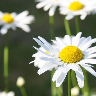 Blüten einiger Magerwiesen-Margeriten (Foto: blumenbiene@FlickR)