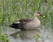 Spot-billed Duck (Anas poecilorhyncha)