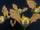 Golden Bat.png