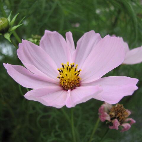 Blüten einer Kosmee (Foto: mrbendig@FlickR)