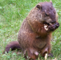 Real Life Groundhog.png