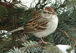 File:Chipping sparrow.jpg