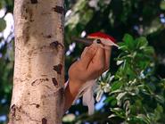 Oobi-Frieda-Friend-woodpecker