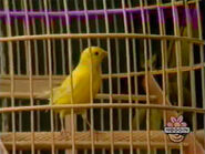 Oobi-shorts-Bird-canary-singing