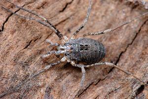Protolophus singularis, female