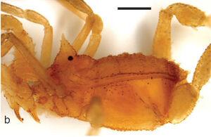 Pyramidops pygmaea Loman 1902 - male lectotype by Sharma et al 2011