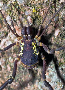Rhaucus robustus, from Colombia, male. Photo copyright (c) by John Alexander Uribe.