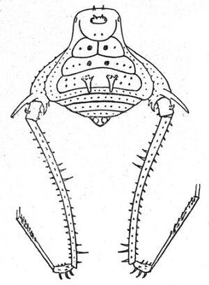 Metarthrodes hamatus Roewer, 1931 fig 13