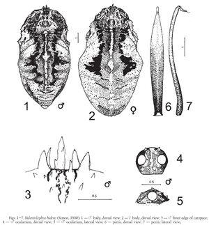 Bidentolophus bidens (Simon, 1880) by Chemeris 2000
