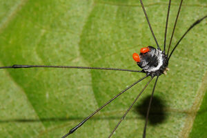 Holcobunus sp (Sclerosomatidae) 2-1a