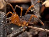 Paranonychidae
