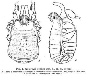 Giljarovia rossica Kratochvíl, 1959