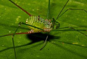 Caelopyginae Metarthrodes longipes - femea Ubatuba by Edelcio Muscat