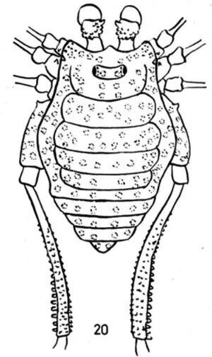 Moselabius albipunctatus